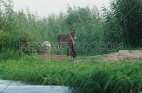 Long shot of three donkeys eating grass at field besides River Nile
