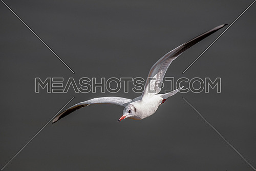 Close up of Black headed Gull (Larus ridibundus) in flight