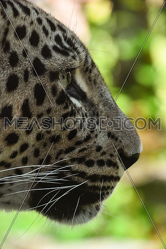 Extreme close up profile portrait of African leopard, low angle, side view