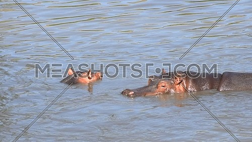 Couple of hippos swim in river water sunny day, close up, high angle view