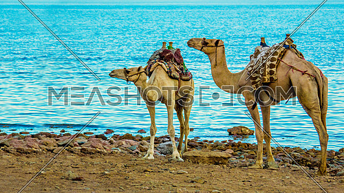 2 camels on a sea shore