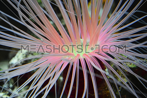 Close up pink and purple sea sebae anemone polyps in water of aquarium, high angle view