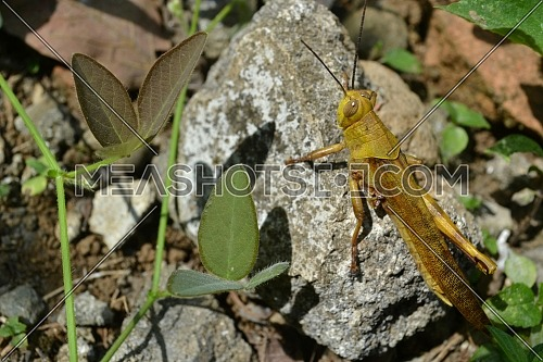 Close up of Yellow Grasshopper Perched on a White Rock in the Sunlight