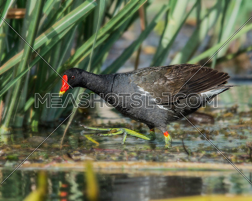 a Common Moorhen walking on the water