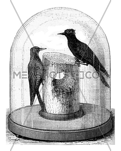 Telegraph pole punctured by woodpeckers, vintage engraved illustration. Magasin Pittoresque (1882).