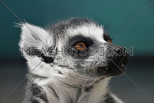 Close up portrait of one cute ring-tailed lemur (aka lemur catta, maky or Madagascar cat) in zoo, looking aside