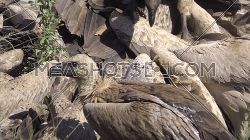 View of flock (wake) of vultures scrambling for meat