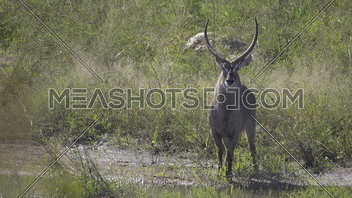 Waterbuck standing near a rivers edge