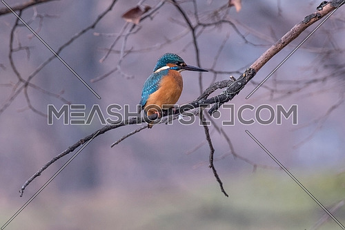 The common kingfisher (Alcedo atthis) also known as the Eurasian kingfisher and river kingfisher sitting on branch