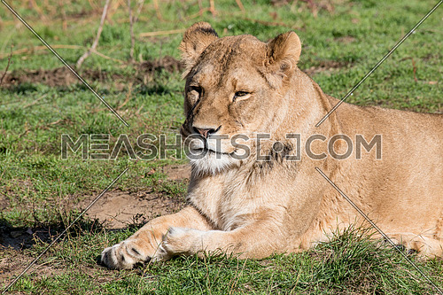 African lion on nature background. Wild Animals
