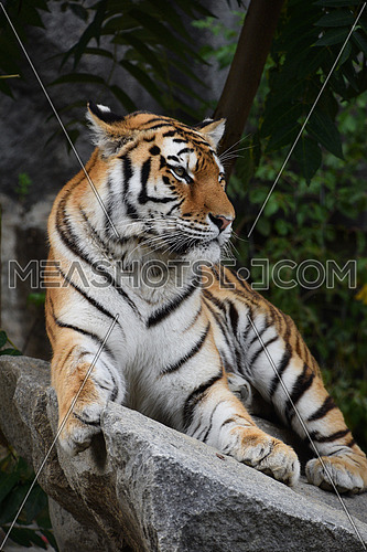 Close up portrait of one young Siberian tiger (Amur tiger, Panthera tigris altaica) resting on rocks and looking at camera, low angle view