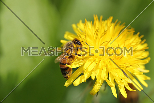Honeybee covered in pollen going through a yellow dandelion flower against a blurred green background