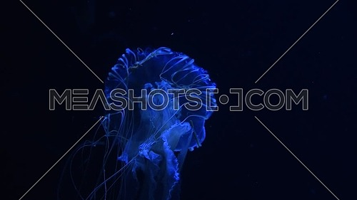 Close up of one jellyfish swimming in aquarium water in blue light over dark background, low angle view