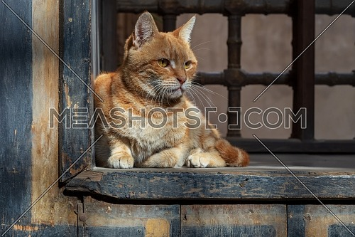 Orange color cat sitting in front of an old vintage window of historic house of Mostafa Gaafar El Selehdar, Cairo, Egypt