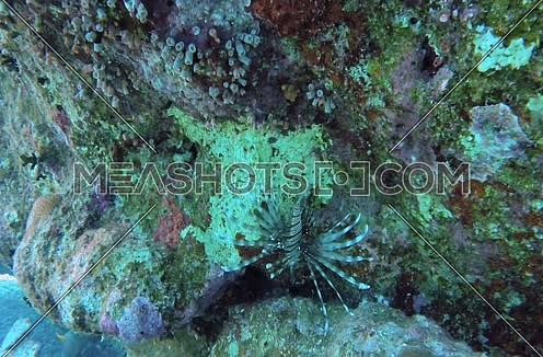 Follow Shot for Lionfish and coral colony underwater at Red Sea