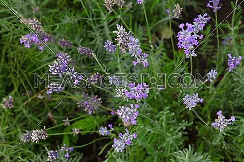 Close up blooming purple lavender flowers in green grass, elevated top view, directly above
