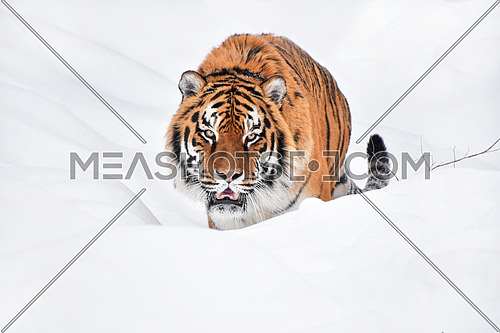 Close up portrait of one young Amur (Siberian) tiger in fresh white snow sunny winter day, looking at camera, low angle view