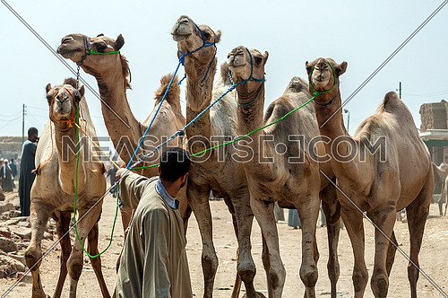 a man pulling 5 Camels in the Camels market in egypt