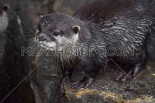 Close up portrait of one small river otter looking at camera in zoo enclosure, high angle view