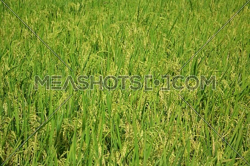 Rice Grains Turn Yellow And Ready To Harvest On A Sunny Day
