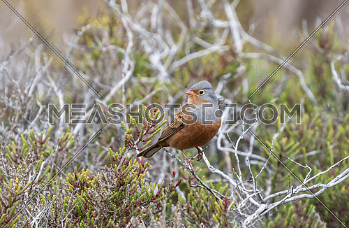 A Cretzschmar's Bunting (Emberiza caesia) sitting on the top of a thorny bush