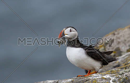 Close up of an Atlantic puffin (Fratercula arctica)  with mouth full of sand eels