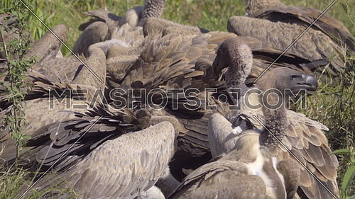 View of a Wake of white backed vultures at a kill
