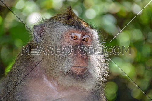 Portrait of long tailed macaque monkeys at sacred monkey forest. Ubud, Bali, Indonesia