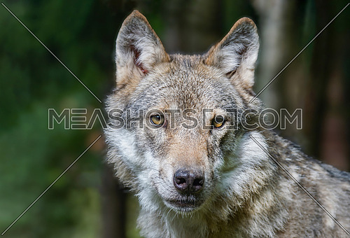 Close-up portrait of grey wolf (Canis lupus) with blurred background.