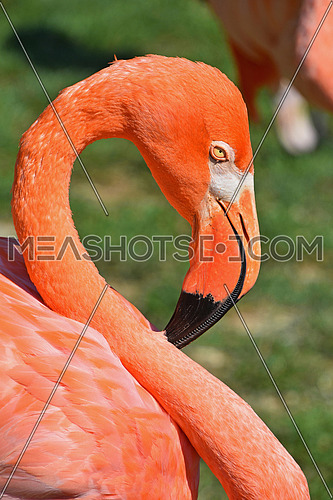 Close up side profile portrait of pink orange flamingo, head with beak, over green grass background, low angle view