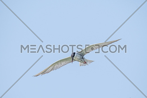 Common tern (Sterna hirundo) hovering and searching for fish.