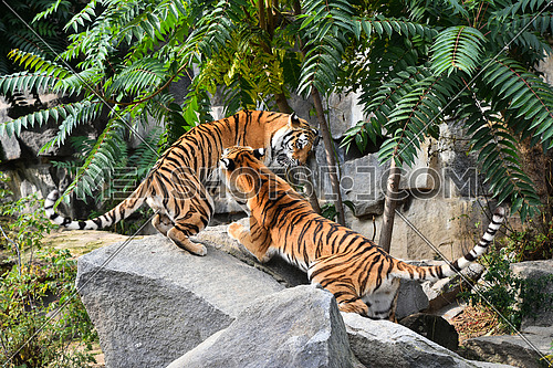 Two young female Siberian tigers (Amur tiger, Panthera tigris altaica) play and fight on rocks, low angle, side view