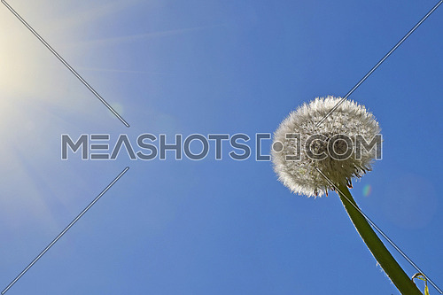 White dandelion flower head with green stem growing over clear blue sky and sunshine rays