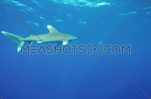 Follow Shot for a shark underwater at Red Sea