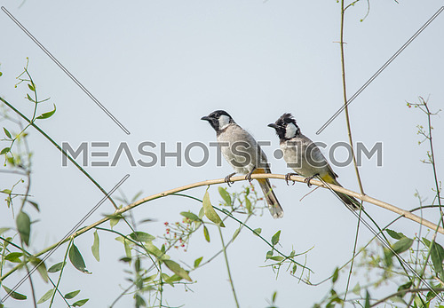 2 White Eared Bulbul on a tree branch