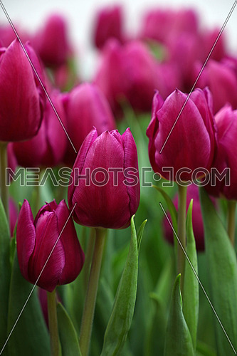 Purple fresh springtime tulip flowers with green leaves growing in field, close up, low angle view
