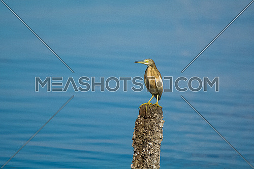 Squacco Heron by the sea