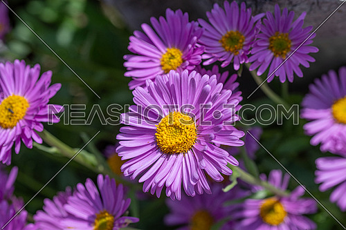 Close up of a purple china aster flower