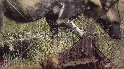 Scene as a Wild Dog pulls on an Impala kill