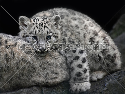 Close up portrait of young snow leopard cub resting on mother and looking at camera, low angle front view