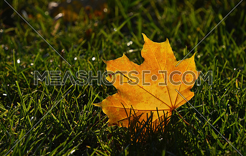 One beautiful yellow orange autumn fallen translucent maple leaf in green grass in golden sunshine back light, low angle ground level view, close up