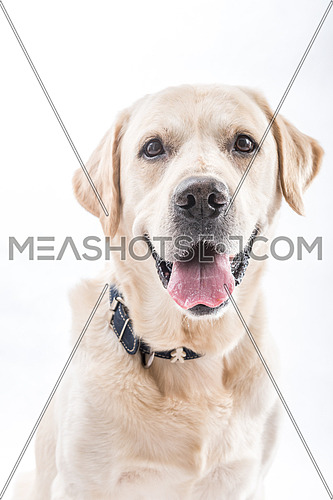 Close up shot for white Labrador Retriever Dog.