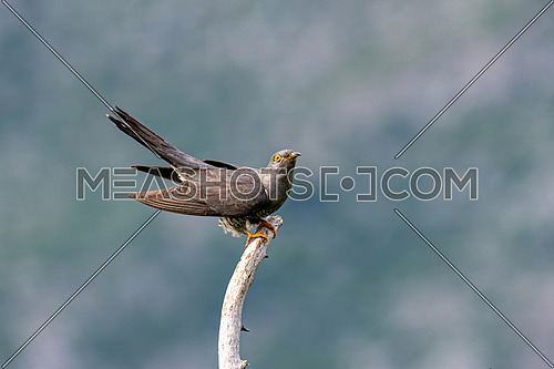 The common cuckoo  (Cuculus canorus) sits on a branch and calls for a partner