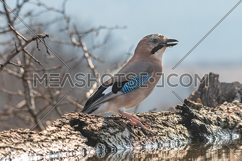 Eurasian jay, Garrulus glandarius, Nature and wild bird image