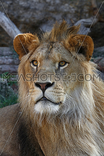 Close up portrait of young cute male African lion with beautiful mane, looking at camera, low angle view