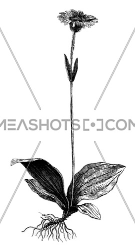 Young plant arnica, vintage engraved illustration. Magasin Pittoresque 1873.