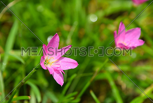 Tender pink purple meadow flowers with drops of dew or rain in green grass under sunshine