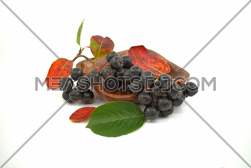 Aronia, commonly known as the chokeberry, with leaves. Freshly picked homegrown aronia berries isolated on white background. Black aronia berries