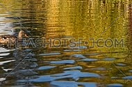 One mallard duck swimming over colorful yellow and blue ripples, waves on water of lake, river or pond, Full HD 1080