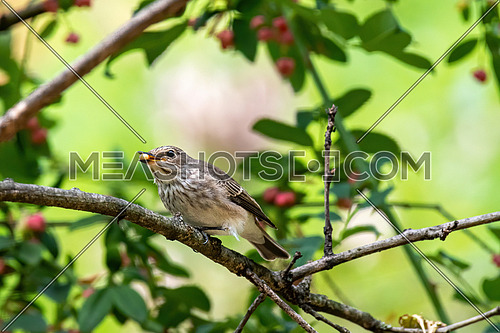 Spotted Flycatcher ( Muscicapa striata) sitting on the branch in the forest.